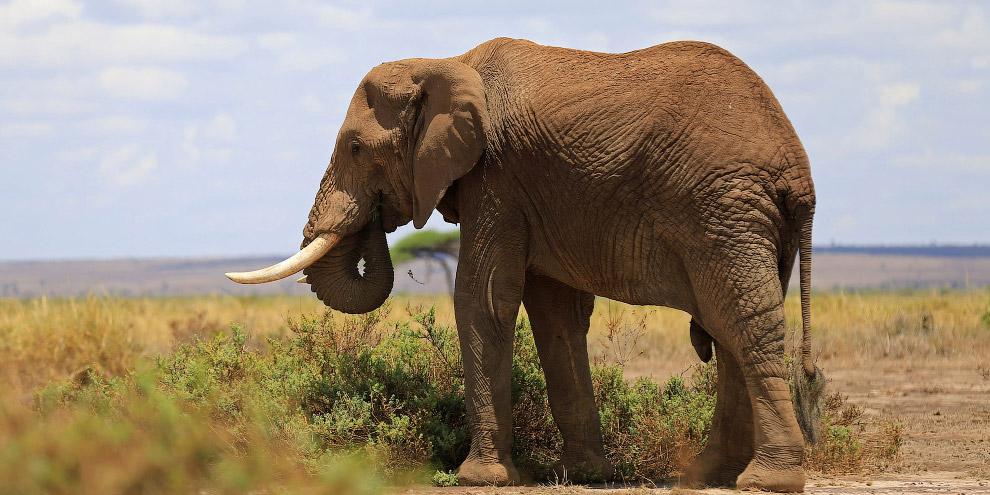 4. В национальном парке Амбосели обитают: африканский слон, носорог, буйвол, импала, лев, гепард, ги
