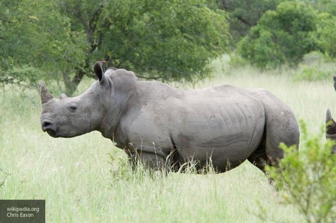 Взоопарке Франции убили редкостного  носорога ради его рога