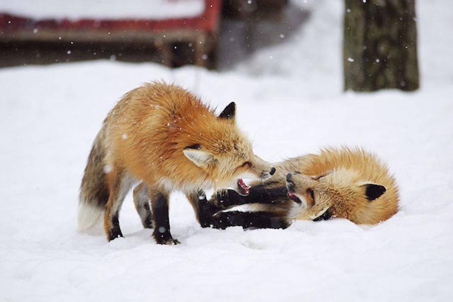 24. Fox Village in Japan .