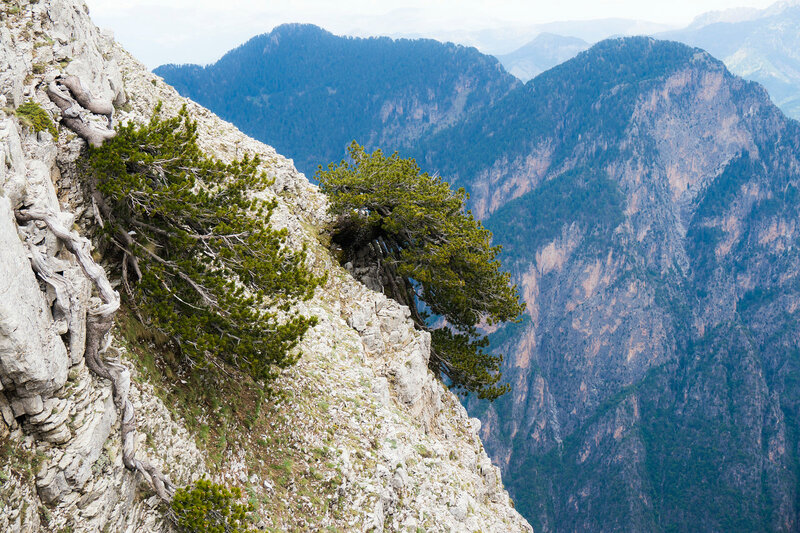 сосны на скалах в Греции