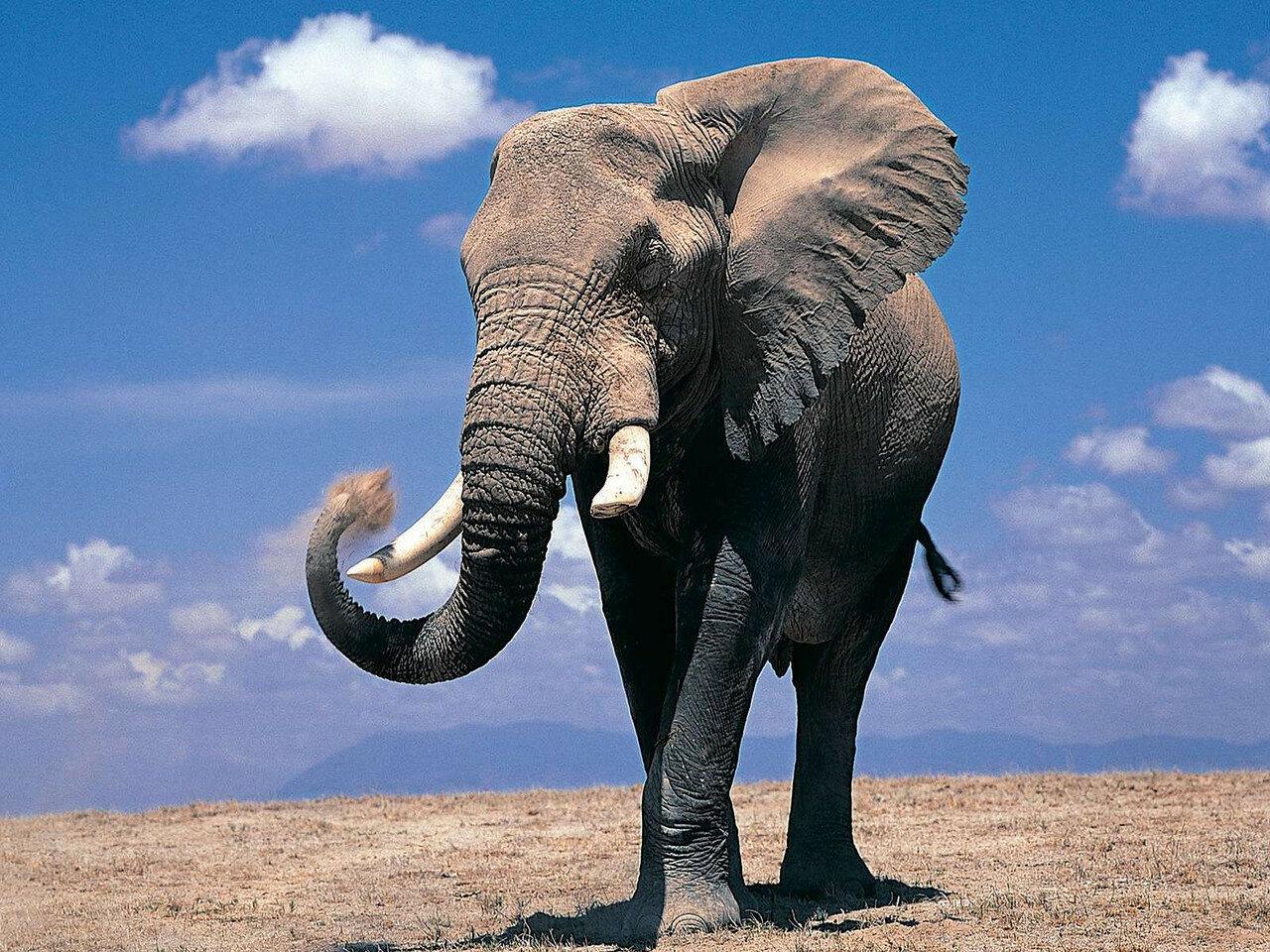 Слоны1.jpg