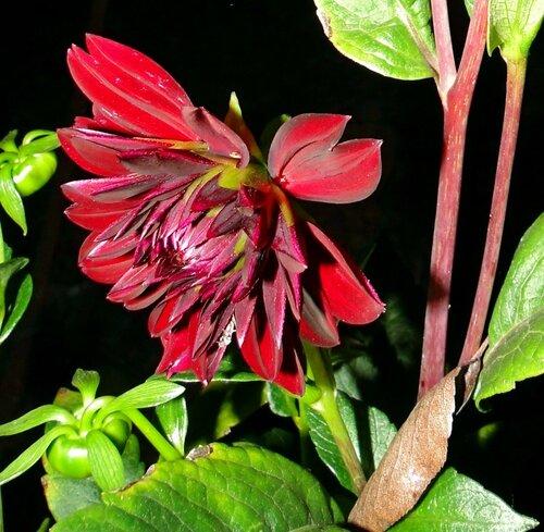 Цветущий георгин из царства красоты...