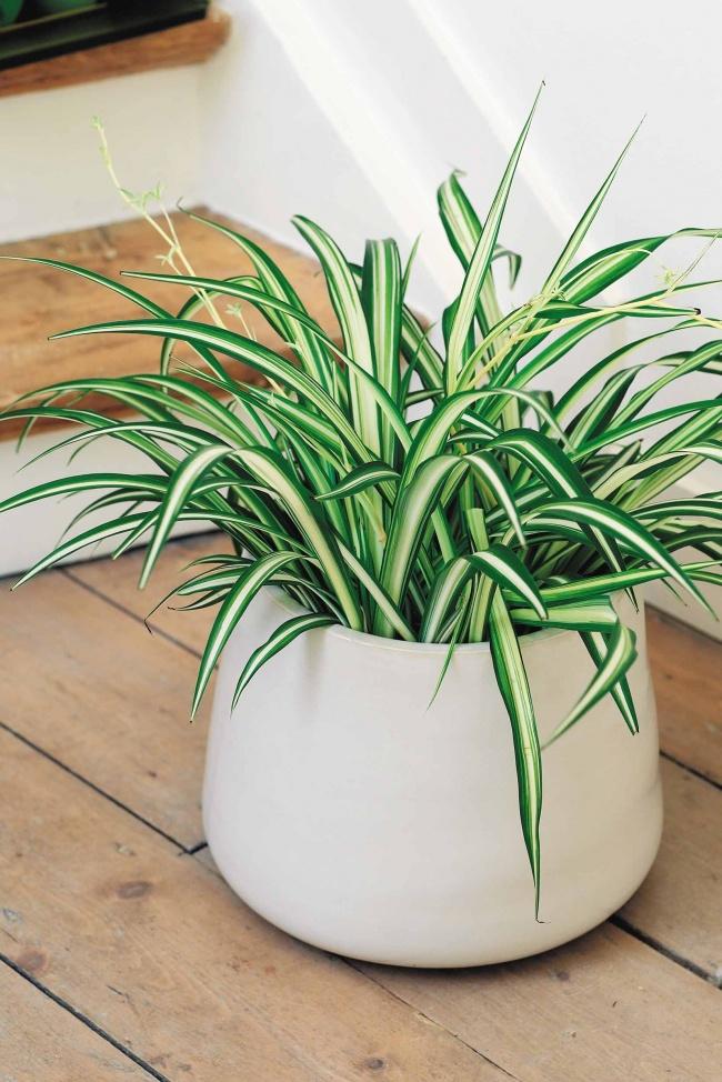 Хлорофитум (Chlorophytum comosum) очень неприхотлив, может расти влюбом грунте вплохо освещенном,