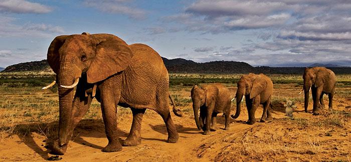 Слон нашел своих собратьев.