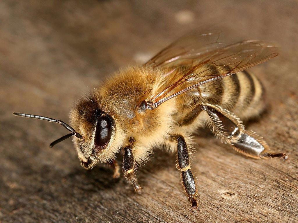 Медоносная пчела Научное название: Apis mellifera. Регион обитания: Африка и Европа. Описание: «Жжен