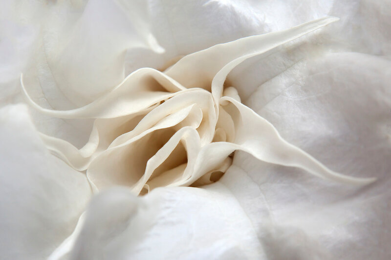 White angel's trumpet Latin name Brugmansia x insignis