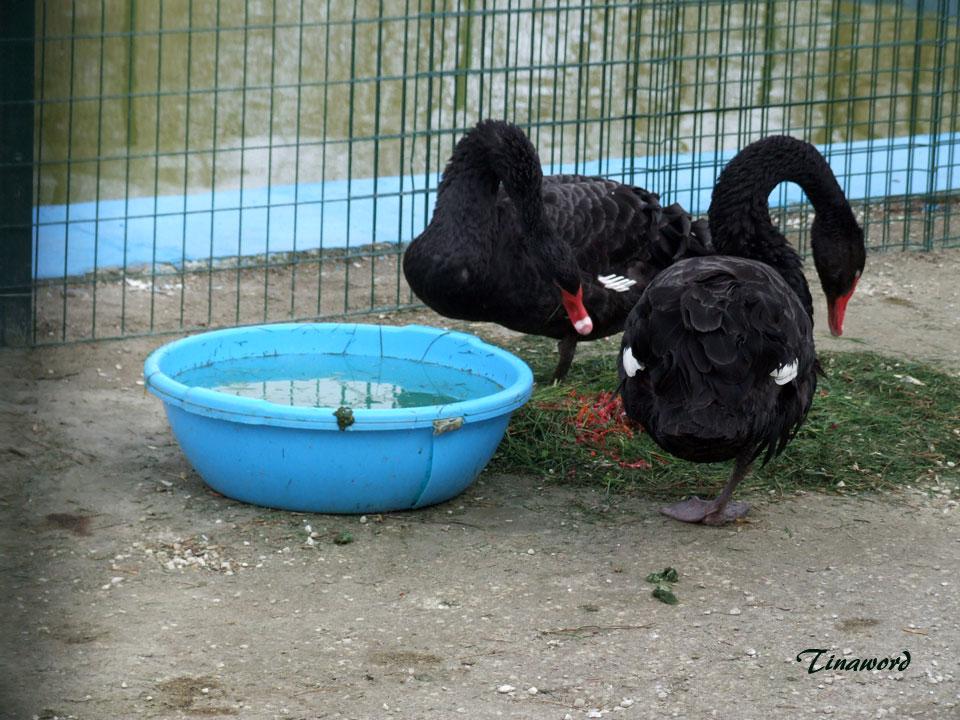 черные-лебеди-4.jpg