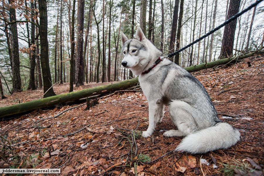 волк в немецком лесу