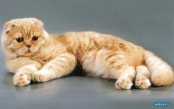 кошки вислоухие породы фото