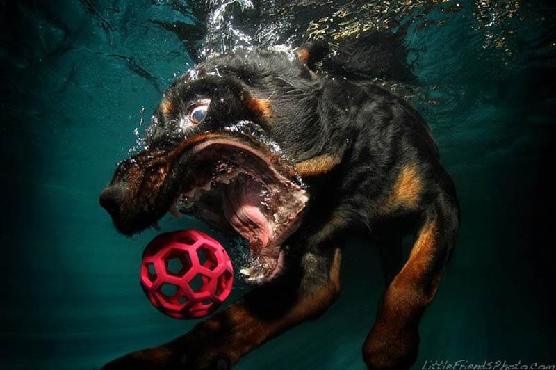Фотограф Seth Casteel. Фотосет с собаками, играющими в водное поло