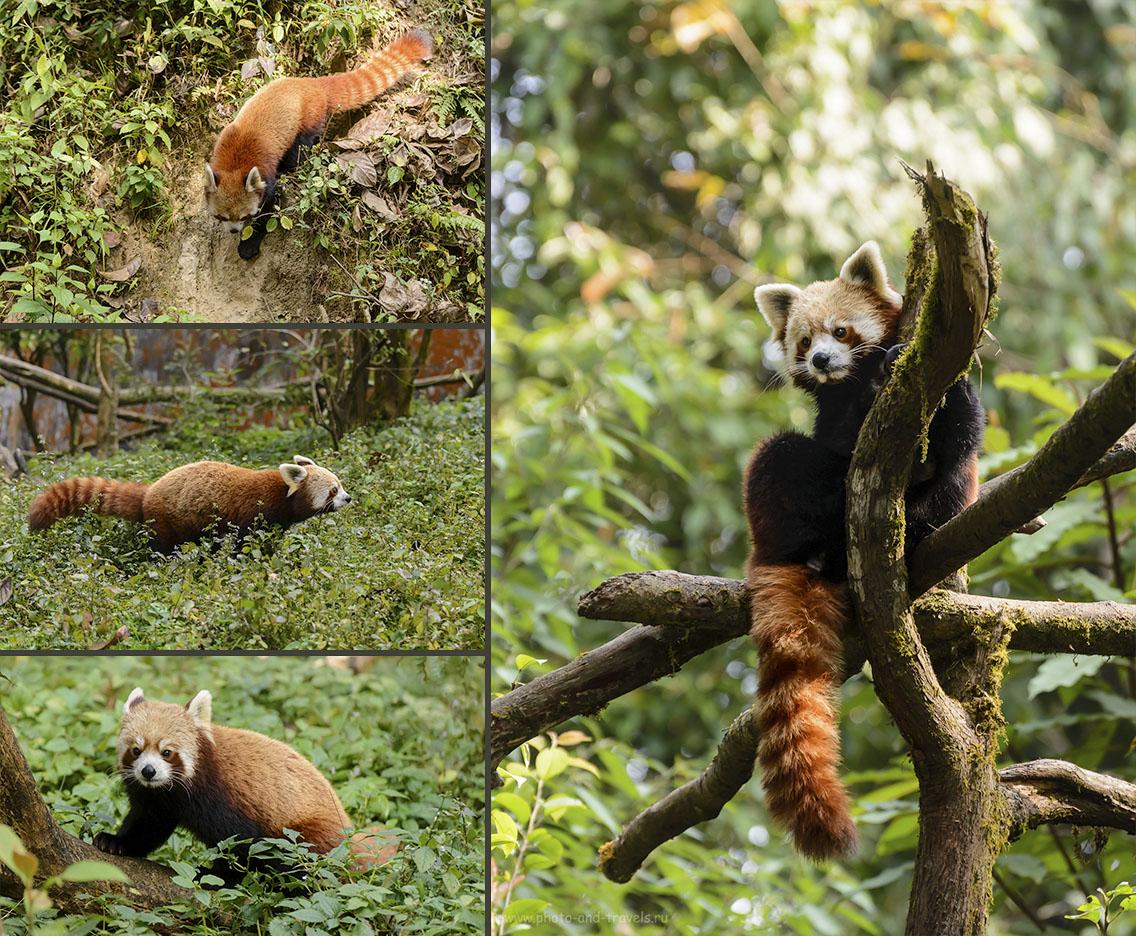 Фотография 13. Красные панды в зоопарке. Что интресного можно посмотреть в Дарджилинге во время самостоятельного путешествия по Индии. 1/640, -0.67, 5.3, 2500, 220.