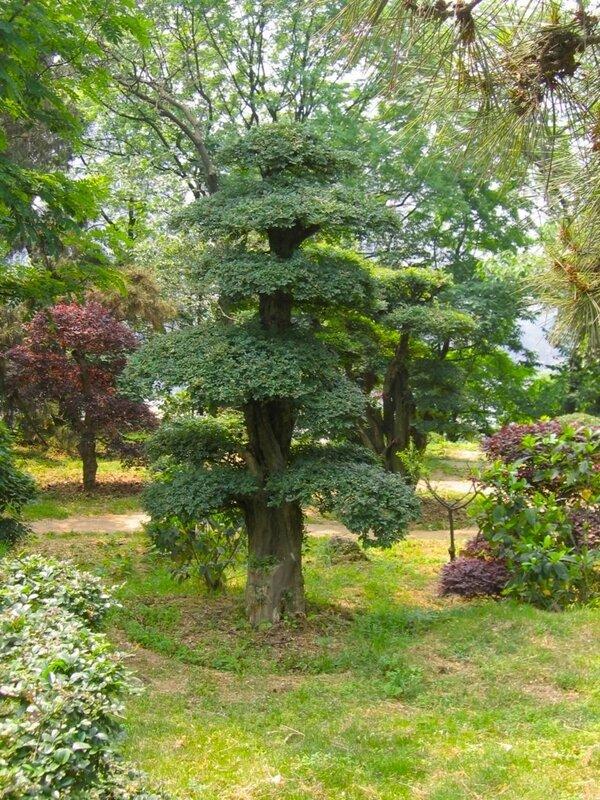 Карликовое деревце