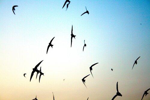 Летом стрижи с громкими криками, напоминающими визг, носятся в воздухе.
