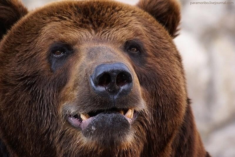 А зубки у меня ма-аленькие...  / Надир - муж бурой медведицы Мимозы