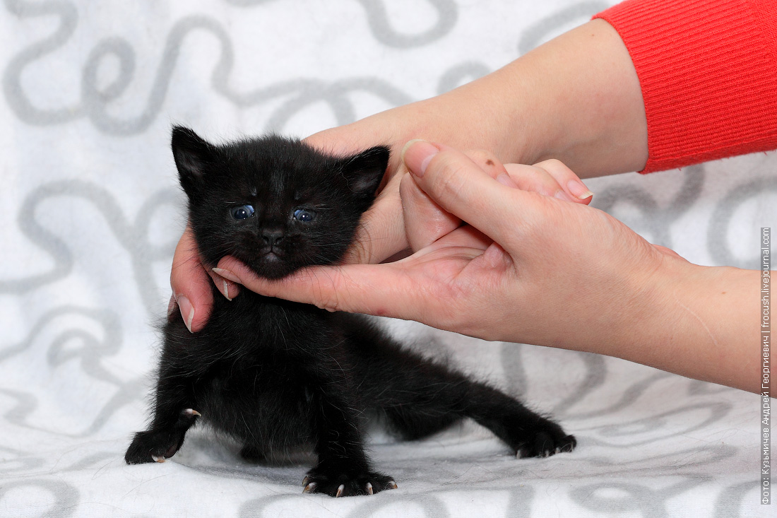 фото котенок пантеретта