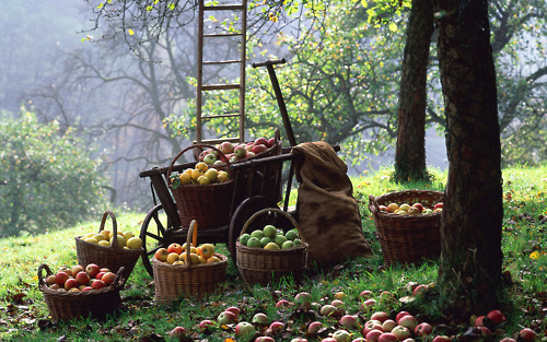 Apple harvest, Autumn