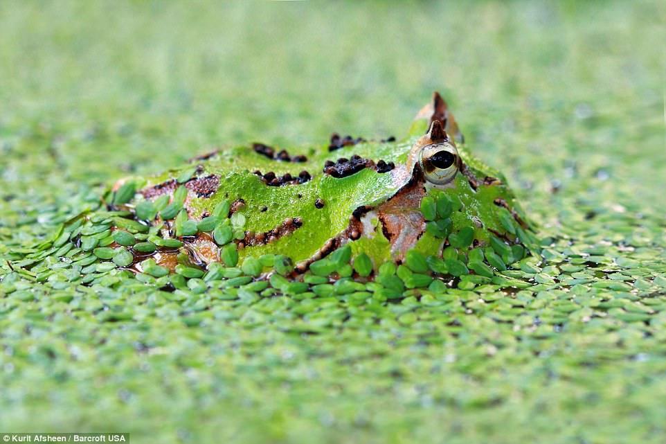 Богомол маскируется под кору дерева, что позволяет ему с лёгкостью ловить насекомых. Борнео, Малайзи