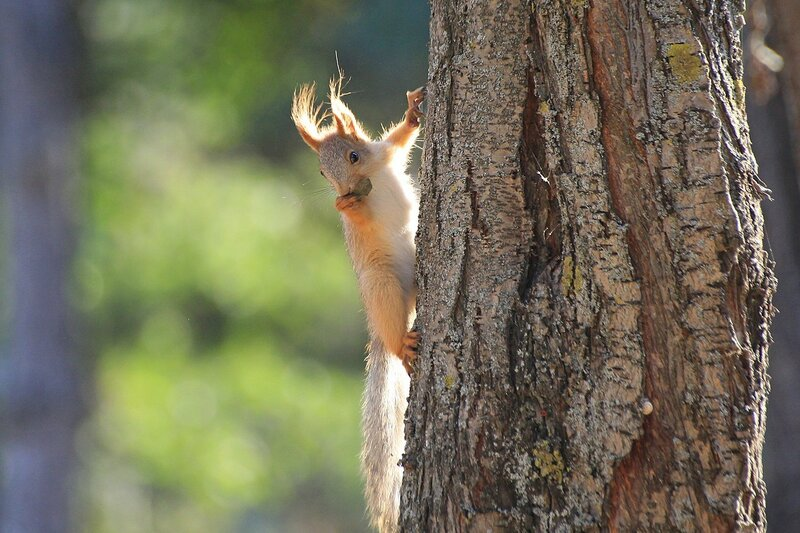 Рыжая белочка с кисточками на ушах в солнечных лучах забирается по стволу дерева с орешком в зубах в Парке Победы в Севастополе