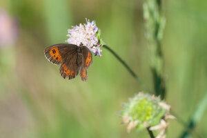 s:дневные бабочки,c:красно-бурые,c:с желтыми пятнами,c:бурые,s:бабочки,s:чешуекрылые