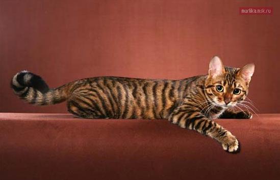 Тойгер, тойгер порода кошки