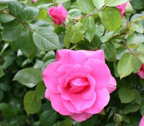 Хиллвуд розы в саду фото дизайн сада