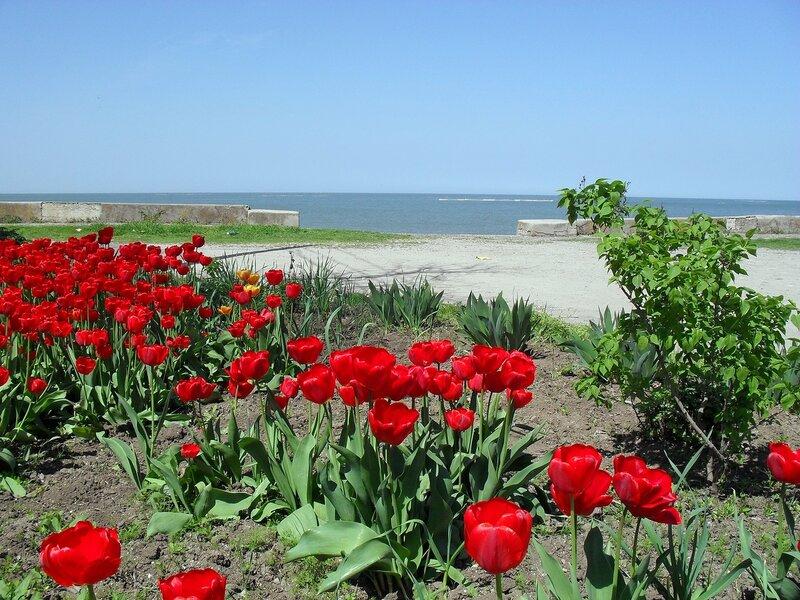 Апрельские тюльпаны Приморско_Ахтарска (9)