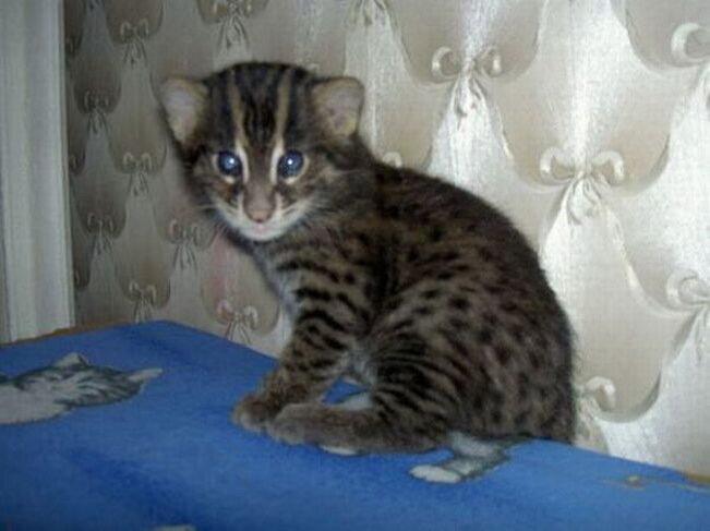 азиатская рыбная кошка. кошка-рыболов. дикие...