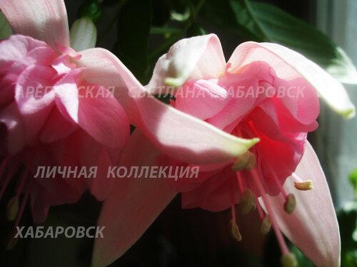 НОВИНКИ ФУКСИЙ. - Страница 5 0_153412_f8bac250_L