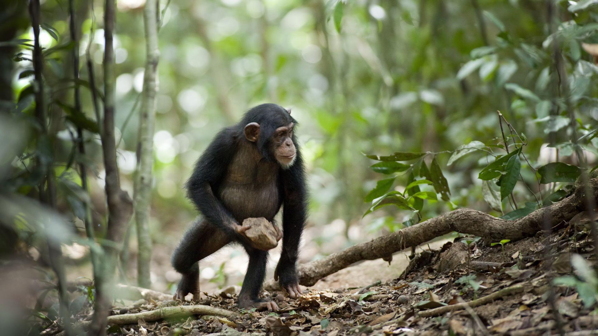 Шимпанзе і камінь