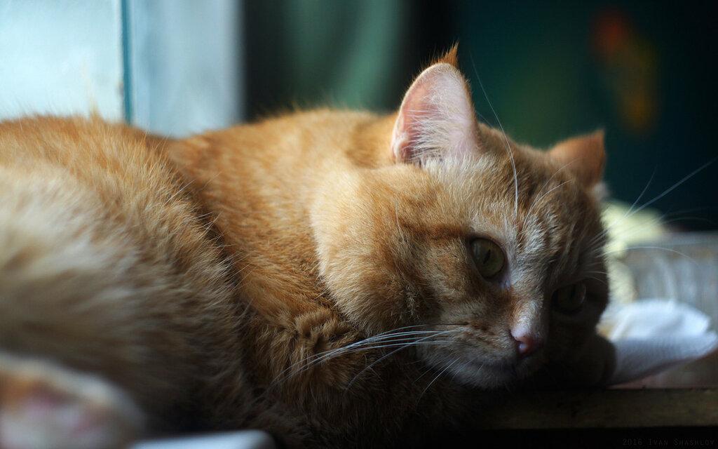 Рудик кот рыжий Rudik cat red Юпитер-21М Jupiter-21M lens