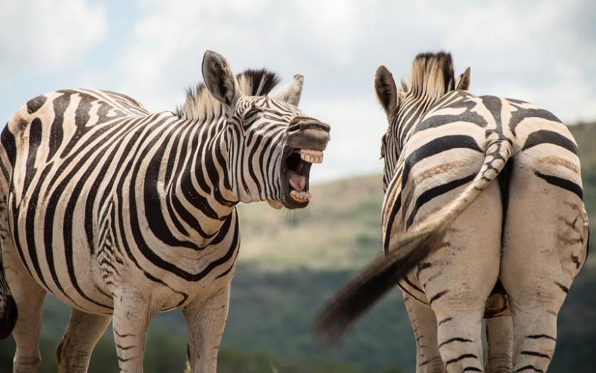 Зебры в Национальном парке Хлухлуве-Умфолози в провинции Квазулу-Натал в Южной Африке.