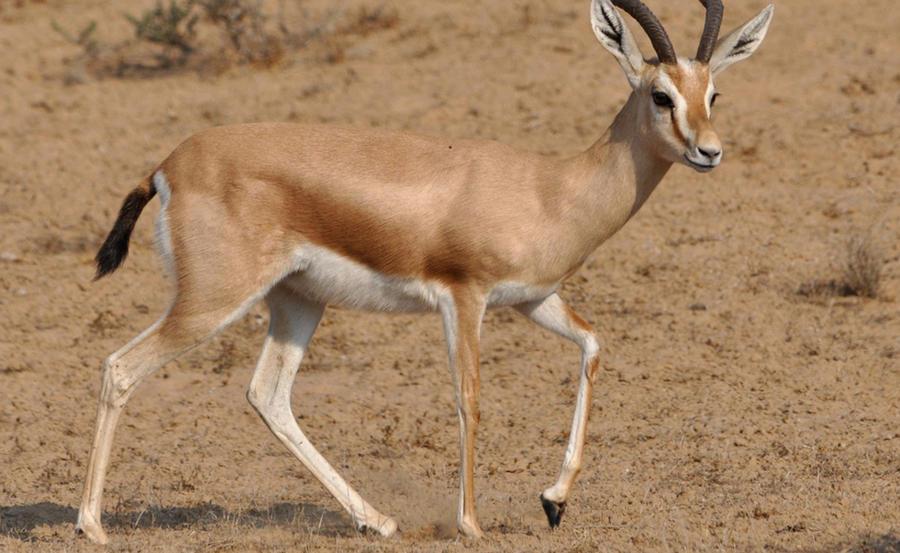 5. Газель-доркас. Газель-доркас живет в Северной Африке, от Атлантики до Персидского залива. Как и с