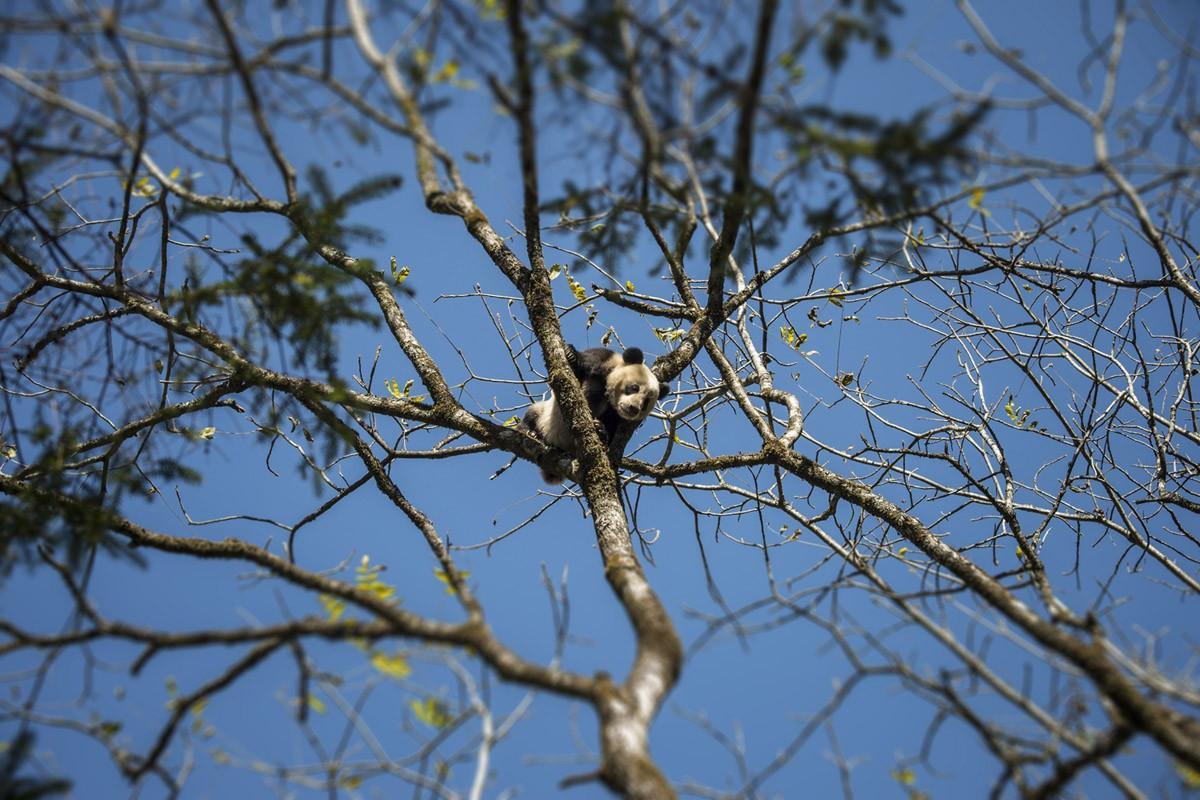 За этими пандами постоянно следят камеры. (Ami Vitale)