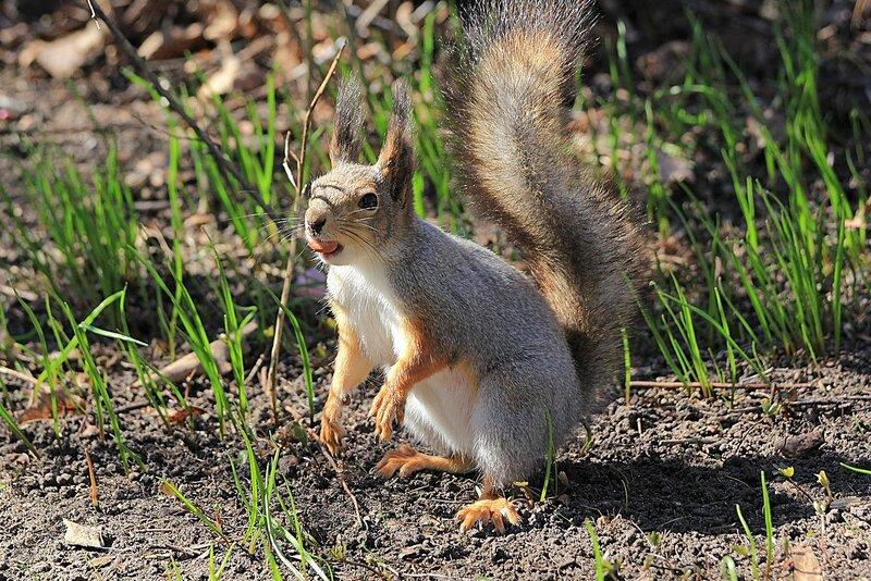 Белочка с орешком в зубах среди первой весенней травы