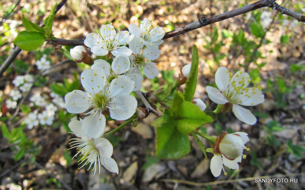 Как цветёт вишня?