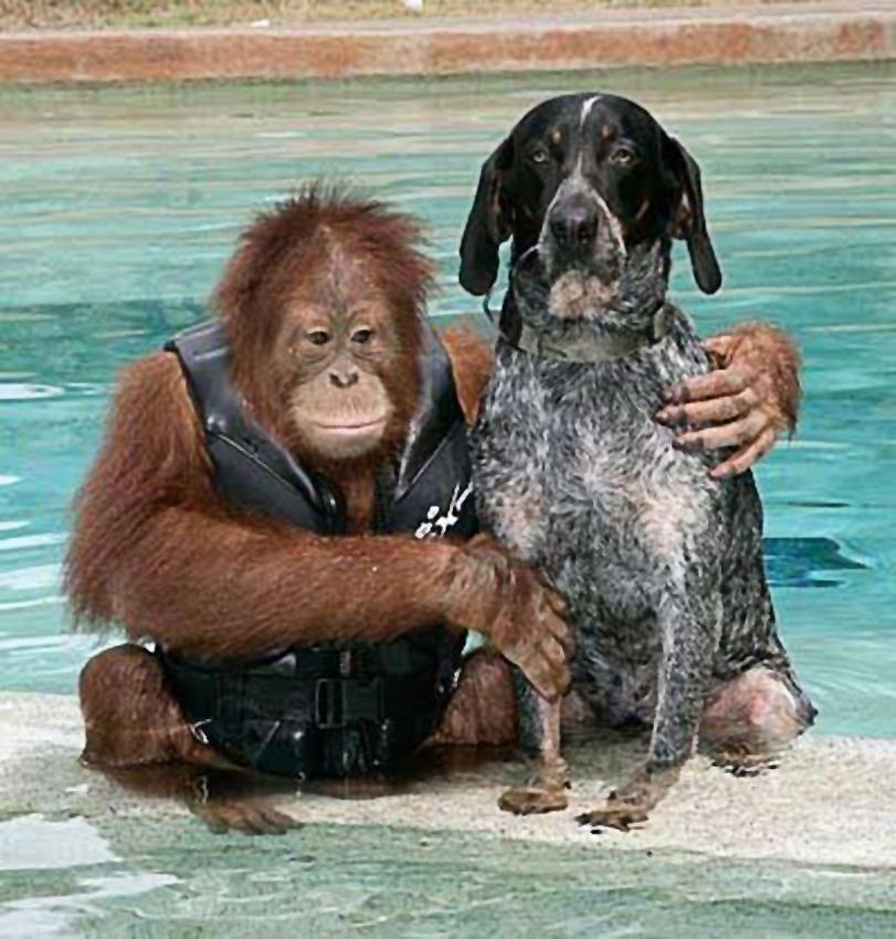 Орангутанг Суриа и бродячая собака Роско. Suryia and Roscoe (850-4).jpg
