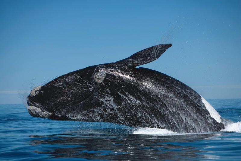 8. Японский кит Угроза существования японских китов заключается в их частом столкновении с кораблями