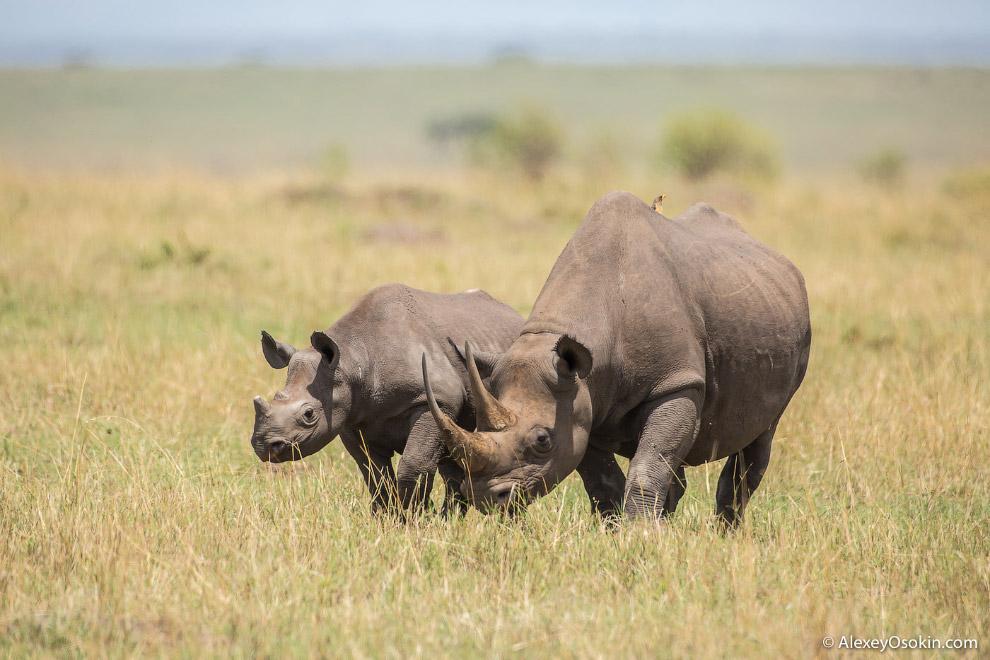6. К сожалению этих животных на земле осталось крайне мало. Они считаются вымирающим видом. На 2 000