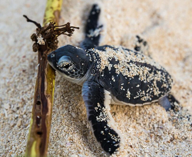 Маленькая зелёная черепашка. Автор фото: Arnault DE PERETTI