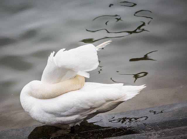 A swan sticks its head under its feathers on the banks of the river Rhine in Mainz, Germany, Wednesd