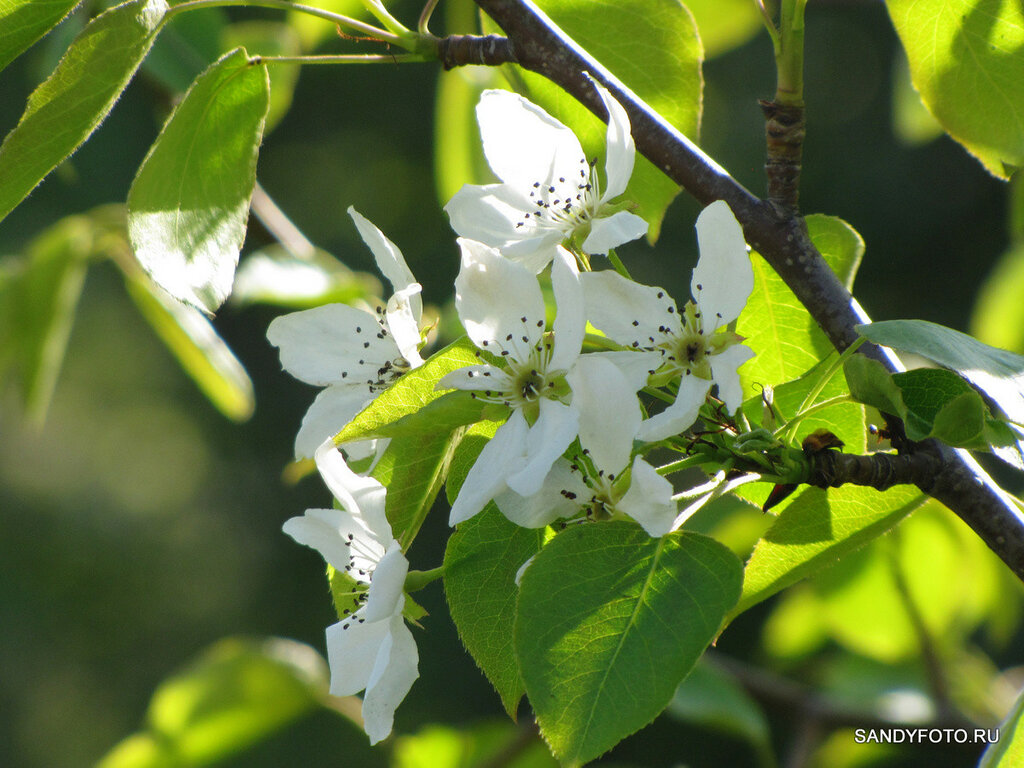 Как цветёт яблоня?