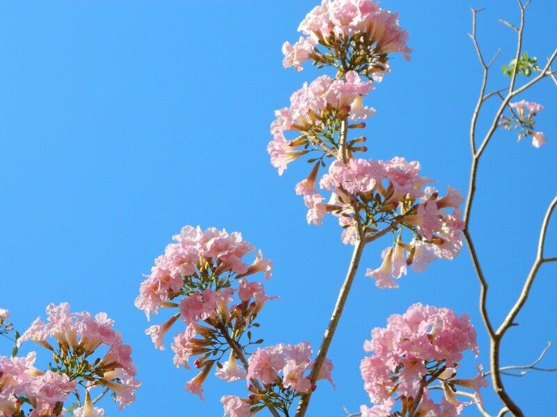 tabubia-flowers4-c-susantha-udagedara[1].jpg