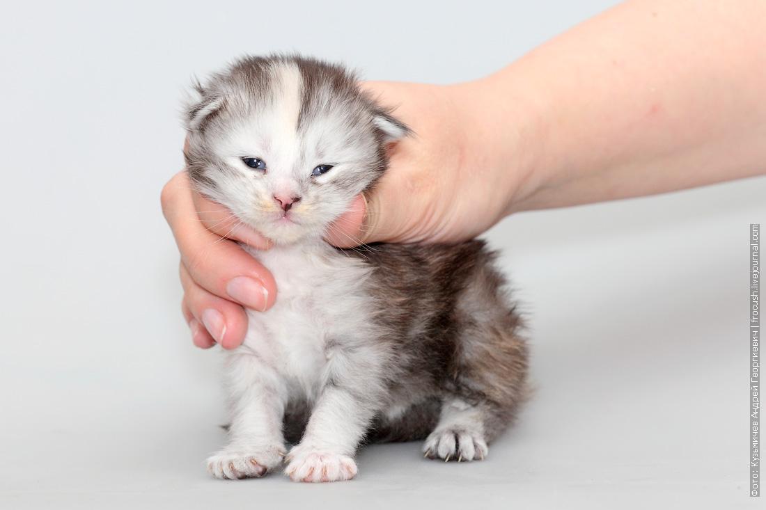котенок мейнкун фото