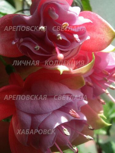 НОВИНКИ ФУКСИЙ. - Страница 5 0_155e5d_ad225f4c_L