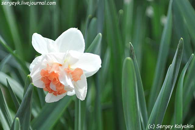 Narcissus My Story.JPG