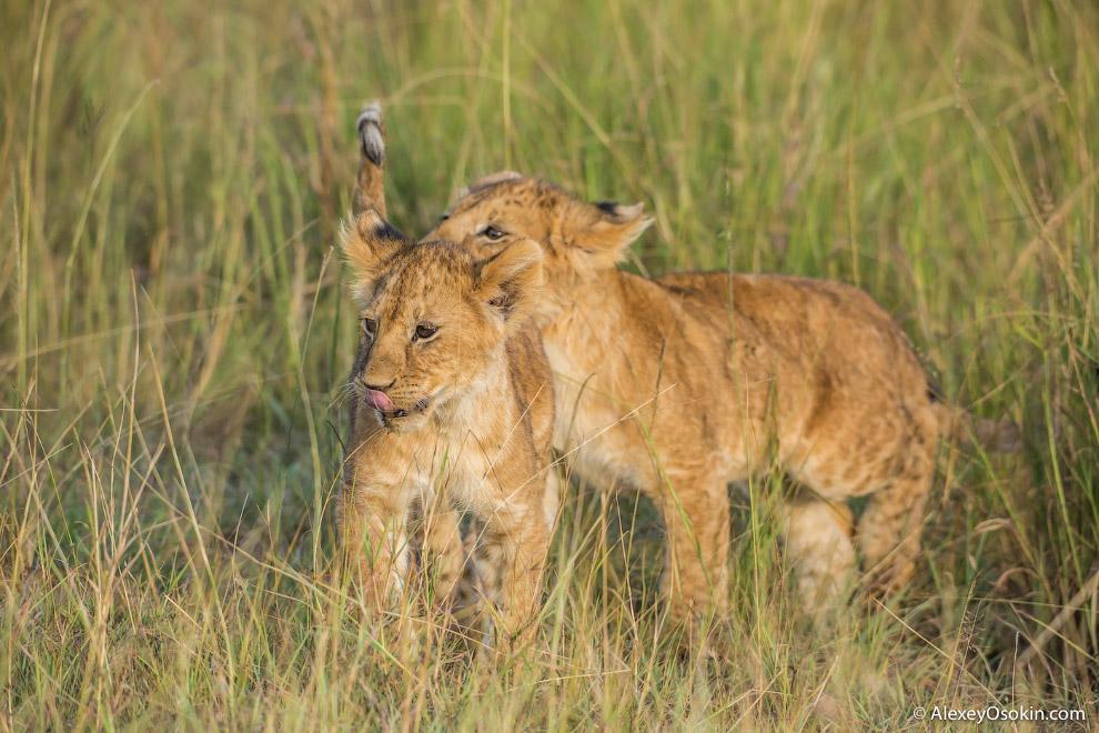 20. Львы доминируют над более мелкими кошками — гепардами и леопардами — в местах симпатрии эти