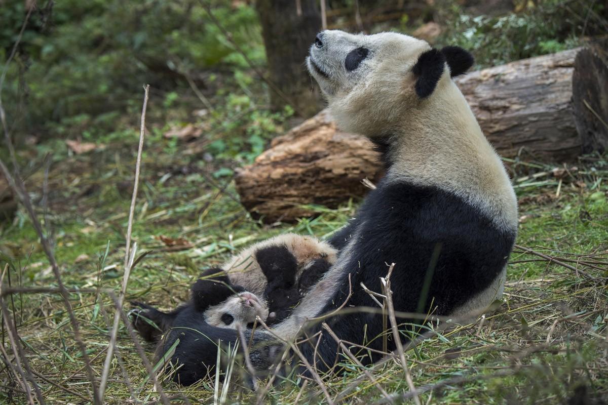 14-летняя панда по имени Ёё со своим детенышем. Мать родилась в неволе, а ее детеныша готовят к тому