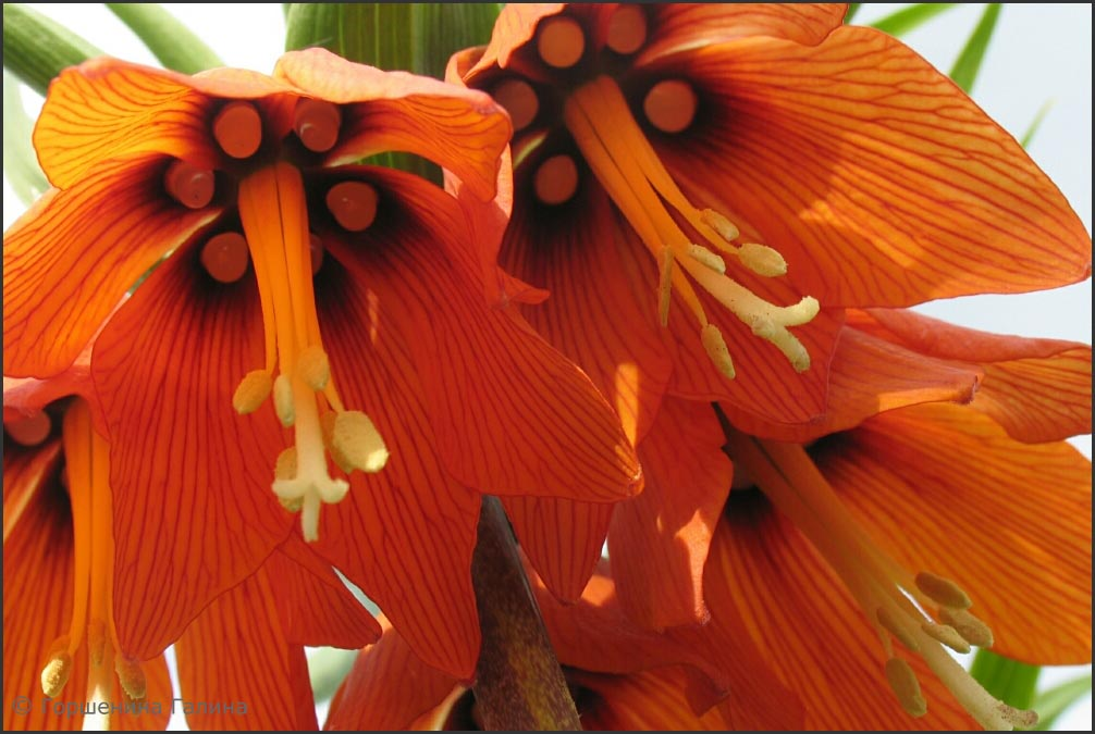 цветы царская корона фото этот