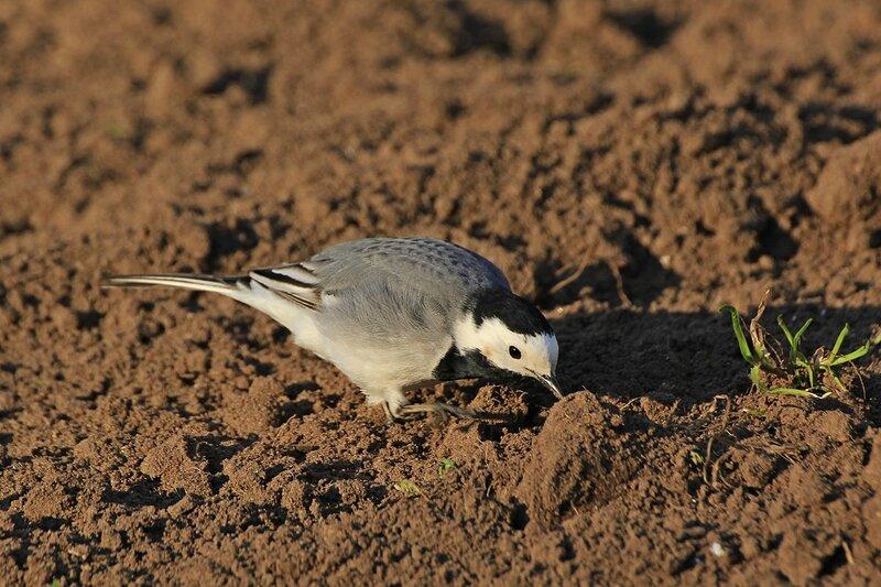 Белая трясогузка (Motacilla alba) подбирает червячка с земли