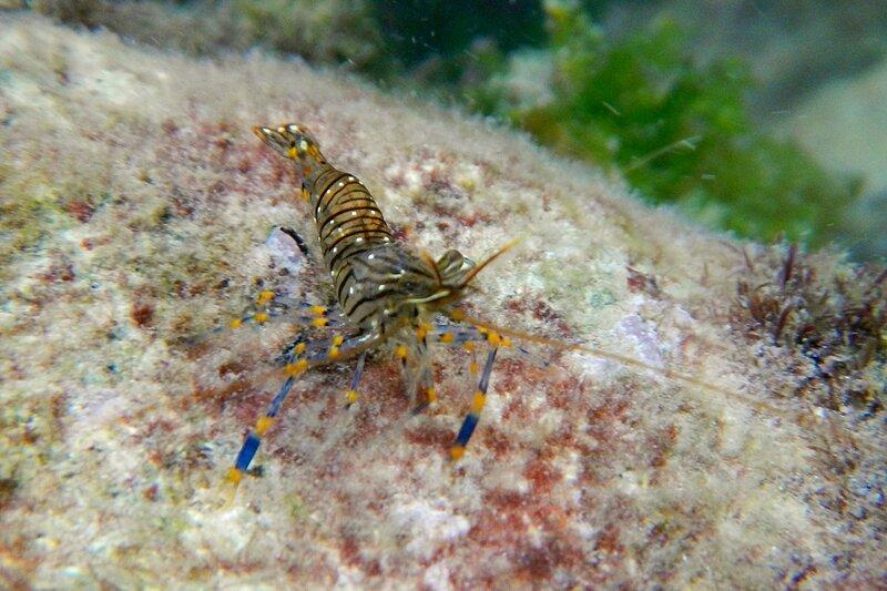 Черноморская креветка палемон элегантный (каменная креветка, стройный палемон, Palaemon elegans) с голубыми и жёлтыми полосками на лапках среди водорослей на камнях в Чёрном море